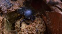 Dung Beetle Making Dung Ball