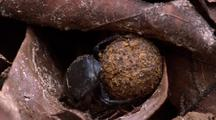 Dung Beetle Rolls Ball Of Dung Over Leaf Litter