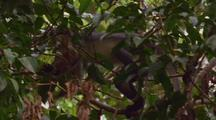 Thomas's Leaf Monkey Climbing Along Branch