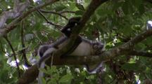 Thomas's Leaf Monkey Asleep In Tree
