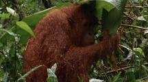 Orang-Utan Shelters In Rain Under Large Leaves, Drinks Water Running Off Of Leaf
