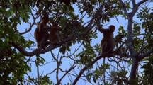 Proboscis Monkeys In Tree Eating