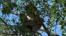 Proboscis Monkey In Tree Eating Partially Obscured By Leaves