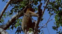 Proboscis Monkey In Tree Pulls Branch Down To Eat