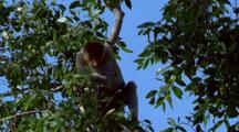 Proboscis Monkey In Tree Eating