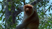 Male Proboscis Monkey In Tree Issues Alarm Call