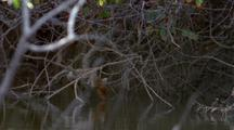 Proboscis Monkey Drinking From River Quickly Climbs Away