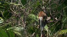 Proboscis Monkey Jumps Into Frame Climbs Tree And Jumps Out Of Frame