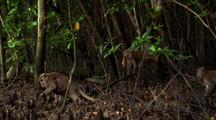 Long Tailed Macaques Foraging Amongst Mangrove Tree Roots