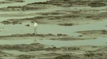 Egret On Tidal Mudflat, Low Tide