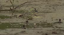 Mudskippers Crawling A Round On Mudflats, Tide Rising