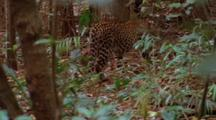 Javan Leopard Moves Away Through Forest