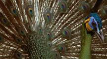 Javan Peacock Walks, Displays Tail Feathers