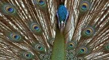 Javan Peacock Displaying Tail Feathers, Close View Neck Feathers