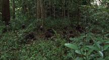 Troop Of Moor Macaques Foraging Fruit From Forest Floor
