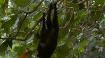 2 Crested Black Macaques In Tree Play Fighting Drop Down Onto Beach Beside 2 Others