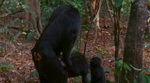 Crested Black Macaques Mating