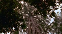 Looking Up Height Of Strangler Fig From Ground To Canopy