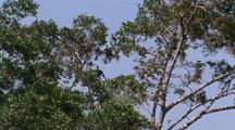 Knobbed Hornbill In Tree 2 Others Fly In And Land In Same Tree