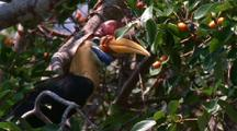 Knobbed Hornbill In Tree Eating Figs