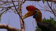 Knobbed Hornbill In Tree