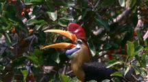 Knobbed Hornbill In Tree Jumps To Lower Branch And Starts Eating Figs