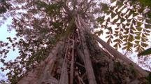 Strangler Fig Climbs Up Very Tall Tree Toward Canopy