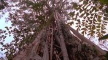 Strangler Fig Climbs Up Very Tall Tree Toward Canopy