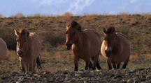 Herd Of Wild Horses Trotting Across Stony Ground, One Looks Toward Camera