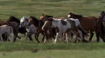 Herdsman And Herd Of Domestic Horses Cross Frame Right To Left.