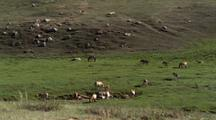Herd Of Wild Horses Grazing