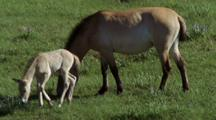 Young Wild Horse Sits Down Beside Adult Horse, Standing.