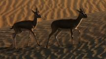Indian Gazelle Walking Across Sand Dune And Joins Second Gazelle