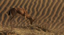 Indian Gazelle Butting Its Horns On A Dry Bush On Sand Dune