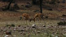 Two Male Gazelles Butt Heads & Lock Horns In Battle