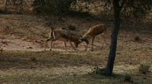 Two Male Gazelles Butting Heads, A Third Gazelle Watching. Tree In Fg.
