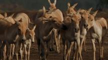 Herd Of Wild Asses Walking Towards Camera