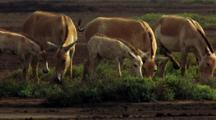 Herd Of Wild Asses Grazing