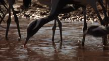 Demoiselle Cranes Drinking From Waterhole