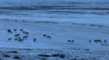 Herd Of Mongolian Gazelle Grazing On Snow Covered Hillside