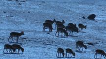 Herd Of Mongolian Gazelle Grazing L - R On Snow Covered Hillside