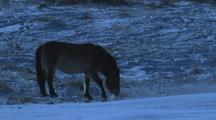 Wild Horse Walks To Frozen River, Breaks Hole In Ice, And Drinks
