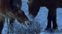 Wild Horses Grazing On Snow Covered Bush