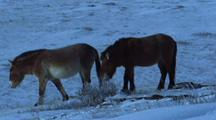 Two Wild Horses, One  Grazing On Snow Covered Bush, The Other Walks Away