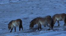 Herd Of Wild Horses Grazing On Snowy Ground