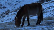 Wild Horse Grazing On Snowy Ground