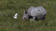 Indian Rhino Walking Right To Left. Birds Fluttering Around