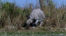 Indian Rhino Walks Out Of Long Grass, Then Walks Right To Left Beside River, Fg.