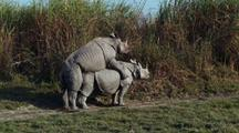 Male Indian Rhino Mounted Onto Female