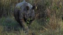 Indian Rhino Walking Towards Camera